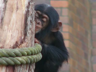 Baby chimpanzee at Sydney Zoo