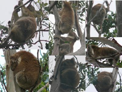 Koalas at Kennett River