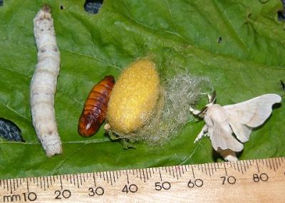 Silkworm cycle