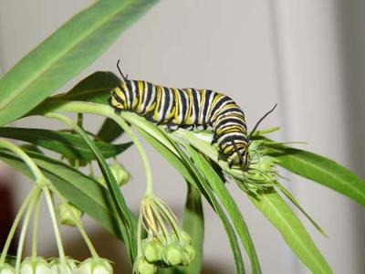 http://www.design-your-homeschool.com/images/monarch-butterfly-caterpillars-21151118.jpg