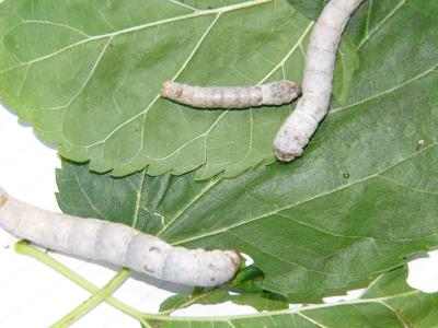 My silkworms