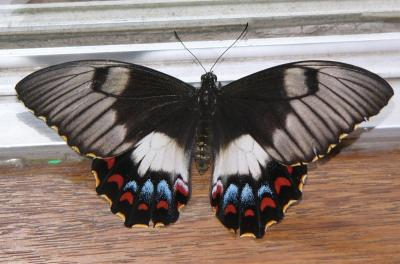 Papilio aegeus or the Orchard Swallowtail