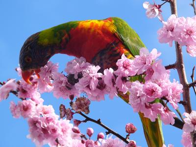 Rainbow lorikeets in plum blossoms