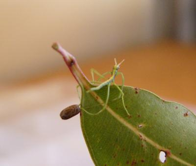 Stick Insect hatching